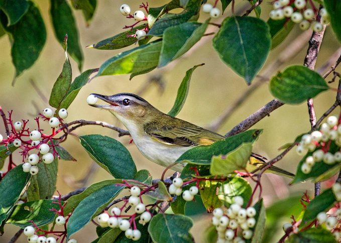 red-eyed vireo on berry bushes