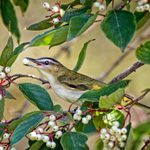 Gardening for Birds: 12 Berry Plants Birders Should Grow