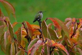 Fall Hummingbird Migration