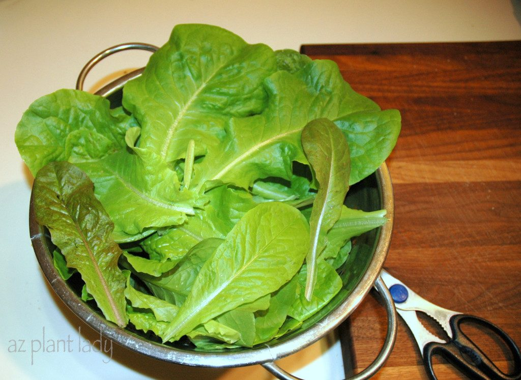 freshly-harvested-leaf-lettuce