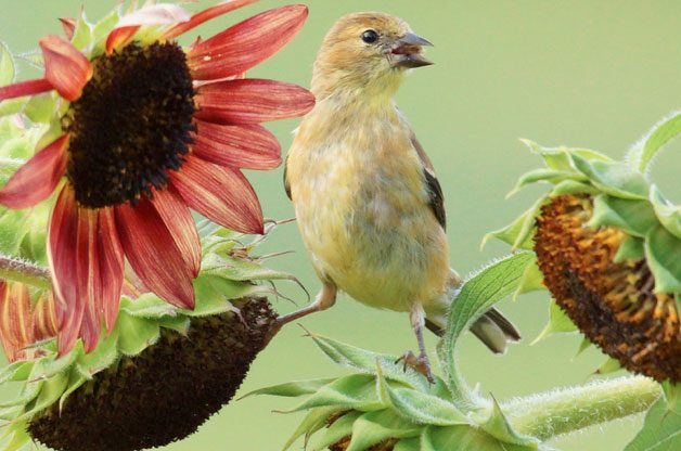 This goldfinch finds seed from backyard sunflowers.