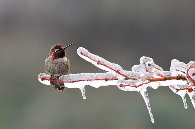anna's hummingbird on icy branch