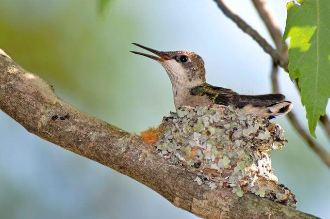 Hummingbird chick still in the nest