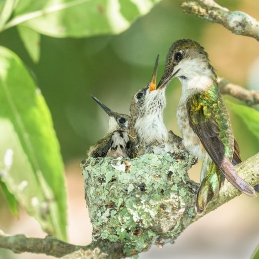 Everything You Need to Know About Hummingbird Nests