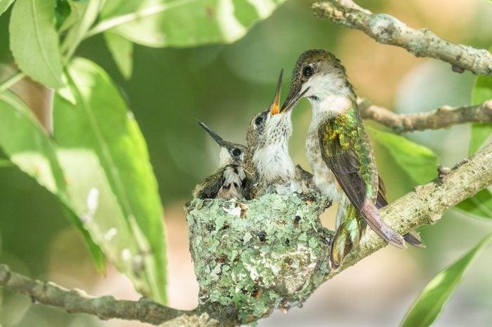 Hummingbird feeds chicks in nest
