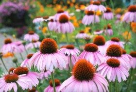 Purple coneflowers are a great native for most areas.