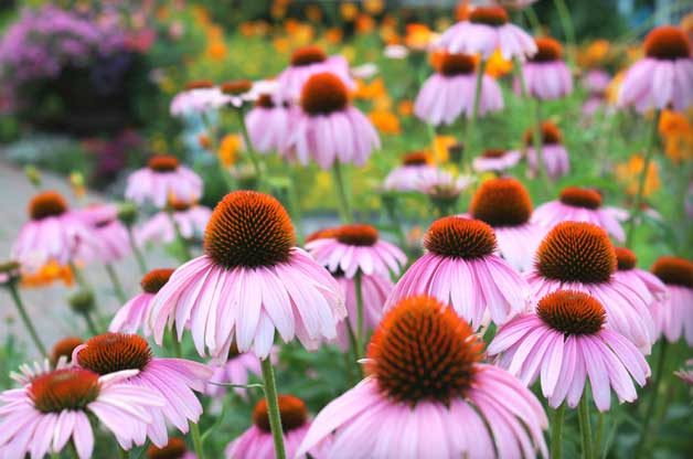 coneflowers, what are native plants?