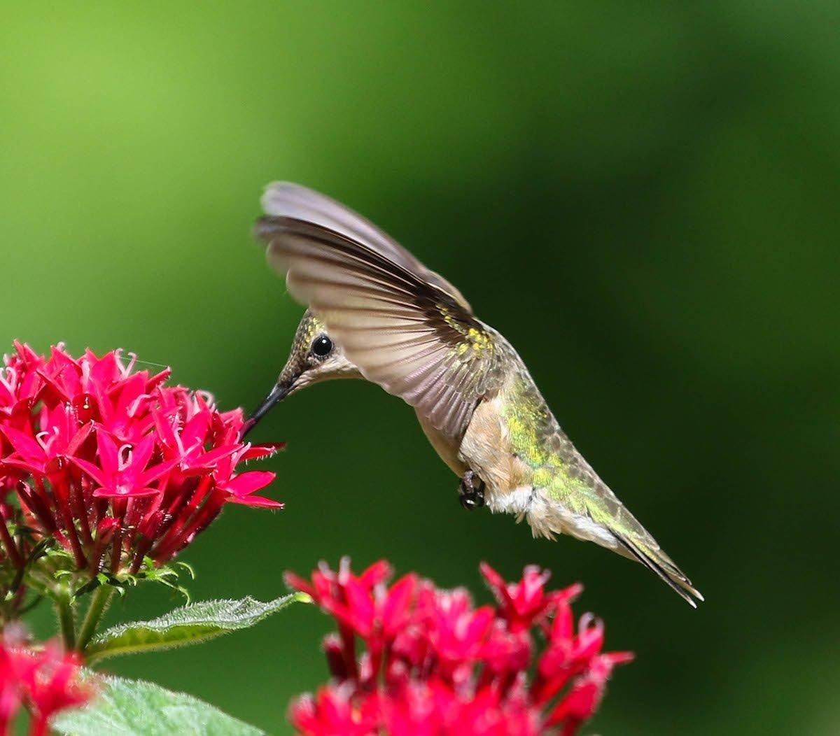 hummingbird and pentas flower