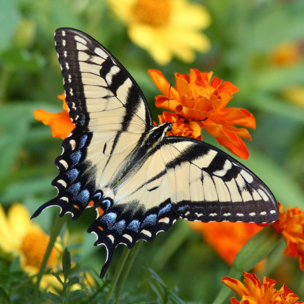 swallowtail and marigolds