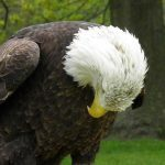 Learn the Story Behind the Rescue of a Special Bald Eagle