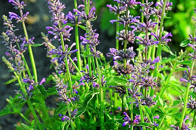 Agastache: Low Maintenance Perennial