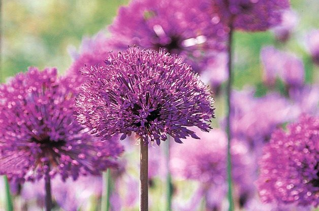Top 10 Seed Bearing Plants: Allium