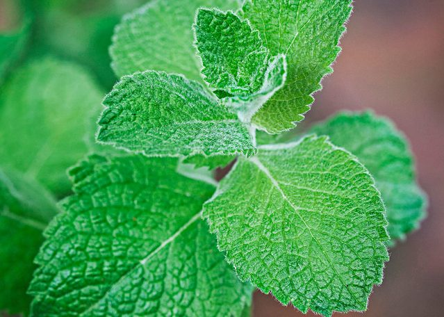 apple mint, herbs for cooking