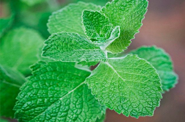 Top 10 Herbs to Grow: Apple Mint
