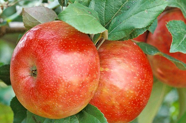 Top 10 Fruit Trees for Small Spaces: Apples
