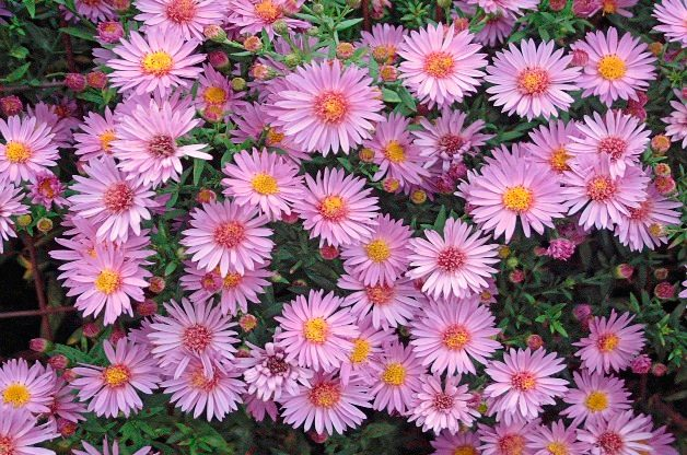 Top 10 Seed Bearing Plants: Aster