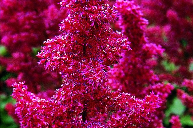 Top 10 Flowers for a Cutting Garden: Astilbe