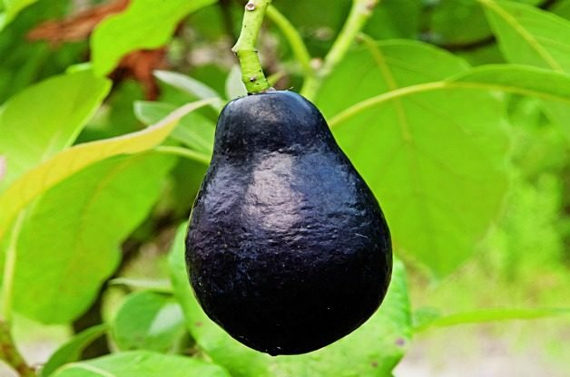 Top 10 Tropical Plants: Avocado