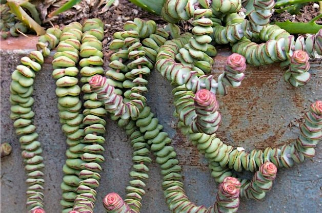 Top 10 Colorful Succulent Plants: Baby's Necklace