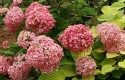 Top 10 Shrubs for Small Spaces: Bella Anna hydrangea