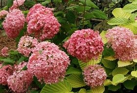 Top 10 Shrubs for Small Spaces