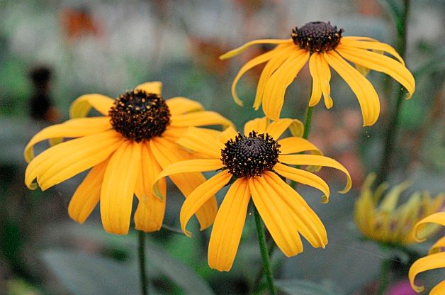 Top 10 Seed Bearing Plants: Black-eyed Susan
