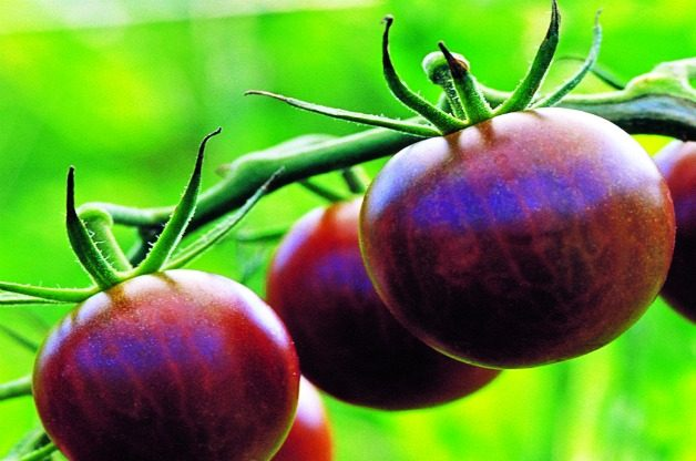 Top 10 Best Tomatoes to Grow: Black Cherry
