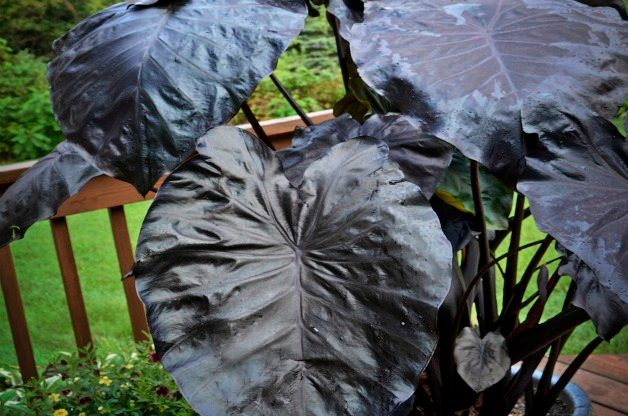 Top 10 Black Plants: Black Coral elephant ear