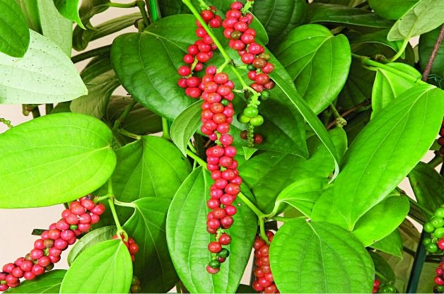 Top 10 Tropical Plants: Black Pepper