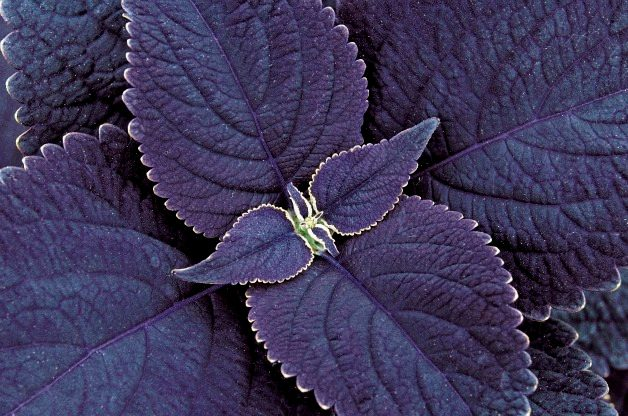 Top 10 Black Plants: Black Prince coleus