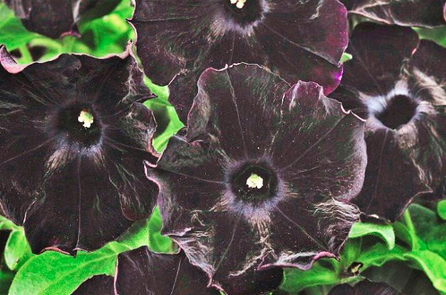 Top 10 Black Plants: Black Velvet petunia