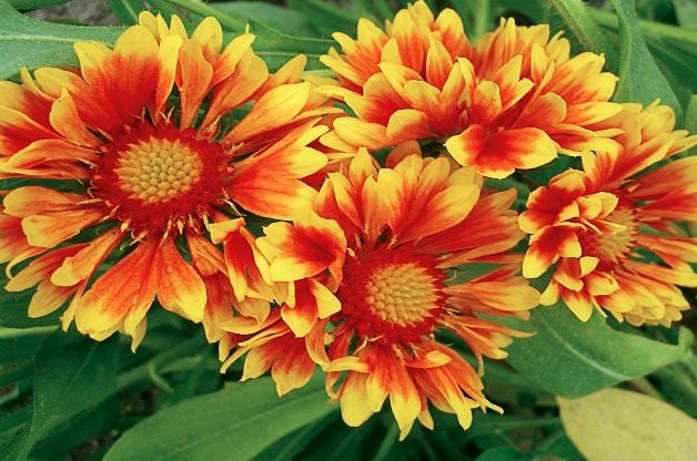 Top 10 Seed Bearing Plants: Blanket Flower