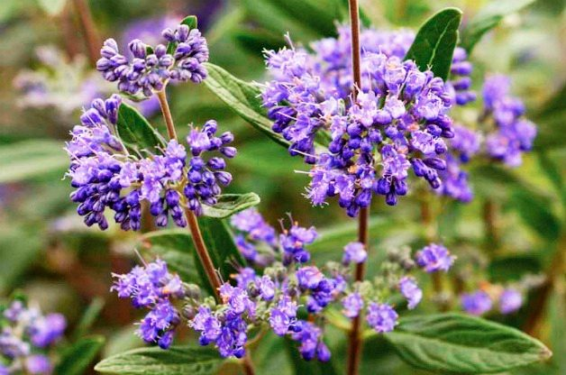 Top 10 Summer-blooming Shrubs: Bluebeard