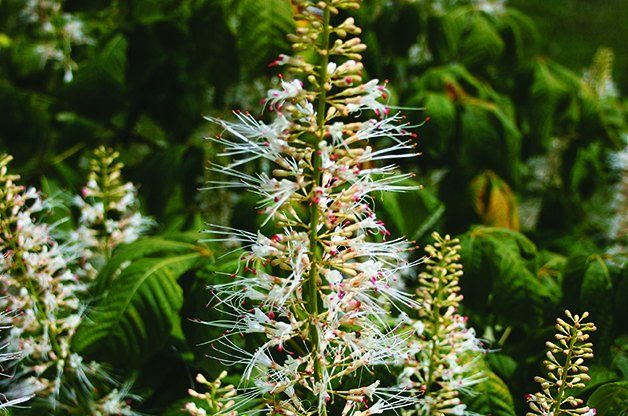 Top 10 Shrubs for Shade: Bottlebrush Buckeye