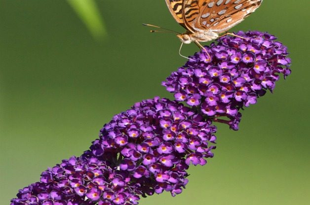 Top 10 Summer-blooming Shrubs: Butterfly bush