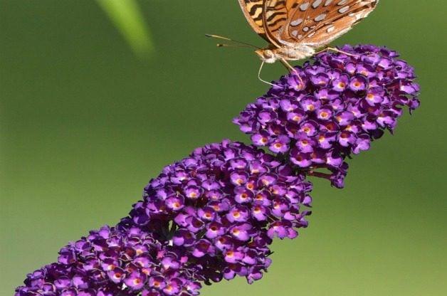 Top 10 Summer-blooming Shrubs: Butterfly bush