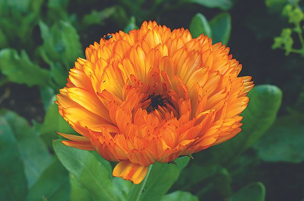 Top 10 Edible Flowering Plants: Calendula