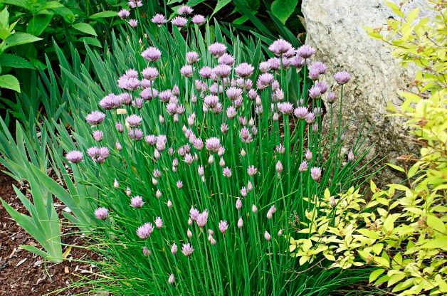 Grow Your Own Food Chives Flavorfull /& Delicious Variety Fast Growing Chiv