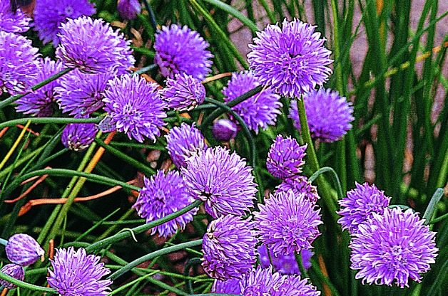 Top 10 Edible Flowering Plants: Chive