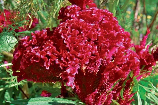 Top 10 Plants for Harvesting Seeds: Amish Cockscomb