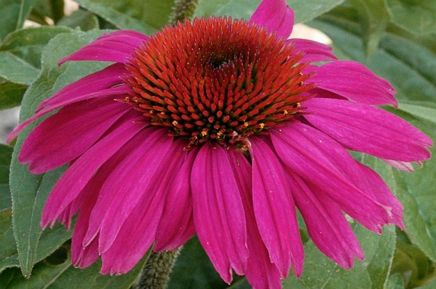 Top 10 Seed Bearing Plants: Coneflower