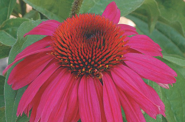 Top 10 Plants You Can't Kill: Purple coneflower