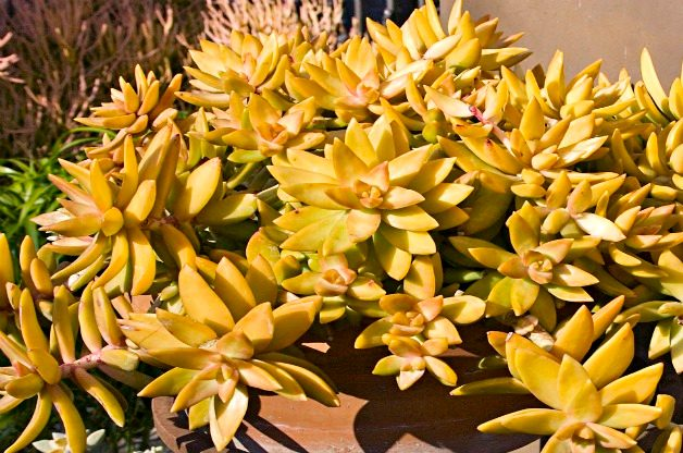 Top 10 Colorful Succulent Plants: Coppertone stonecrop