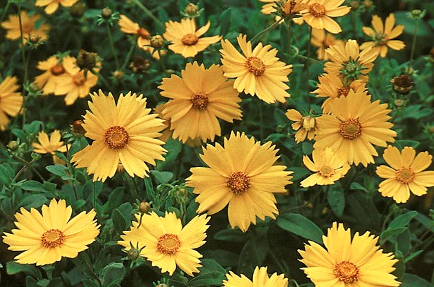 Top 10 Seed Bearing Plants: Coreopsis