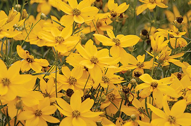 Coreopsis: Low Maintenance Perennial