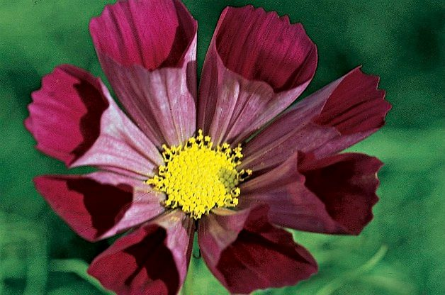 Top 10 Flowers for a Cutting Garden: Cosmos
