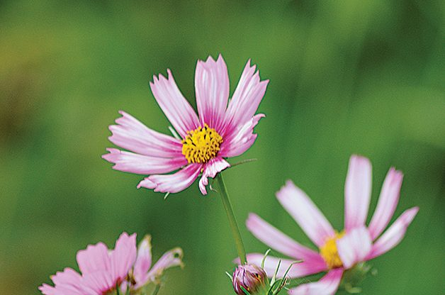 Top 10 Plants You Can't Kill: Cosmos