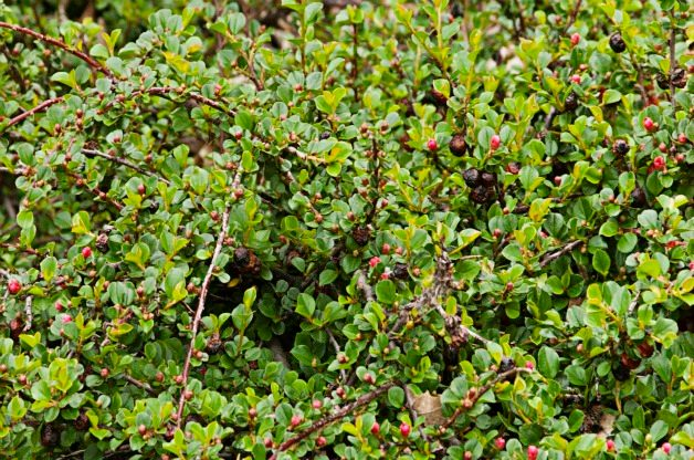 Top 10 Shrubs for Small Spaces: Cranberry cotoneaster