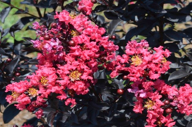 Top 10 Summer-blooming Shrubs: Crape myrtle