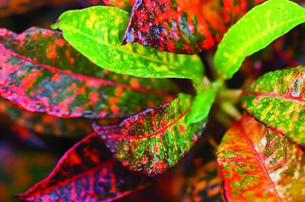 Top 10 Container Foliage Plants: Croton